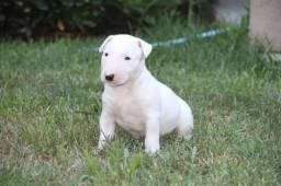 Bull Terrier Inglês * ou (11) 3862-3206 Annie Beatrice