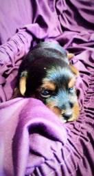 Vendo yorkshire terrier fêmea