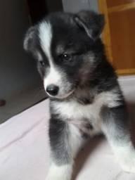 Filhotes de husky siberiano Belos