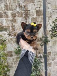 Lindos filhotes de Yorkshire com garantia e suporte veterinario 24h