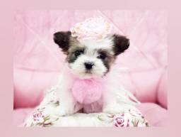 Filhote linda de shihtzu mini fêmea disponível para venda