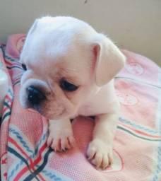 Bulldog francês alta linhagem