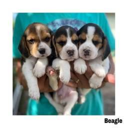 Título do anúncio: Beagle com pedigree e micro chip em até 12x