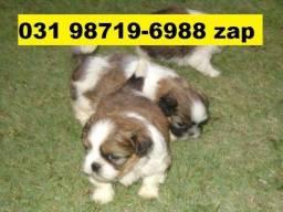 Canil Filhotes Cães Lindos BH Lhasa Yorkshire Beagle Maltês Shihtzu Poodle