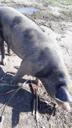 Porco raça 4 pernil reprodutor
