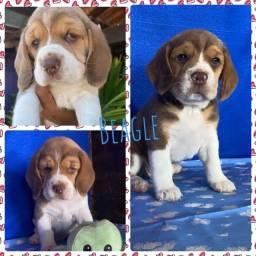 Título do anúncio: Fofos Beagle 13 Polegadas com Pedigree Microchip Garantia
