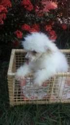 Filhotes Poodle Micro Toy