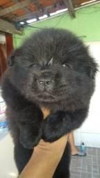 Cachorro Chow chow Fêmea