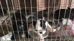 Bulldog francês fêmea com pedigree cbkc 45 dias