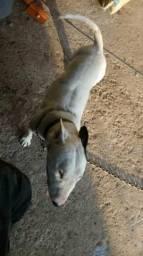 Cruzo Bull terrier