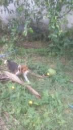 Beagle filhotes