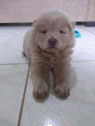 Cachorro raça Chow Chow