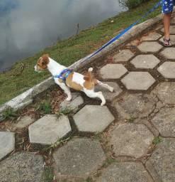 Filhote Jack Russel Terrier - JRT