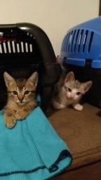 Título do anúncio: 02 Gatos macho com 50 dias