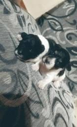 Filhotes de poodle macho