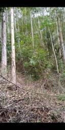 Vendo 650 pés de eucalipto em Rio Novo