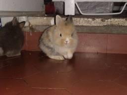 Mini coelho Netherlands