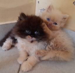 Lindos gatos persas!
