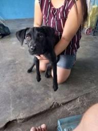 Labrador com pitbull