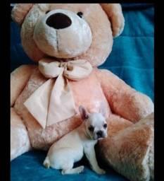 Título do anúncio: lindos Bulldog Francês pronta entrega