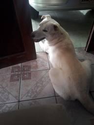 Labrador Procurando uma Namorada.