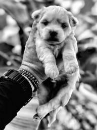 Filhote Cachorro Cão Maltes