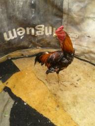Vendo frangos indio