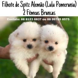 Vendo filhote de Spitz Alemao (Lulu da pomerania)