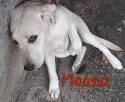 Vendo Labrador fêmea Moana (branca) e macho Maue