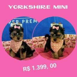 Yorkshire Mini Feminha # Microchipada # Garantia # Parcelamos em até 12X