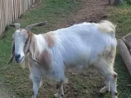 Vendo cabra prenhe