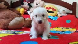 TOP dos top filhotes de poodle toy originais leia