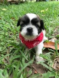 Vendo filhotes de cachorro Shih-tzu! ( Macho)