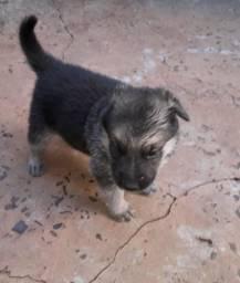 Cachorro macho pastor alemao