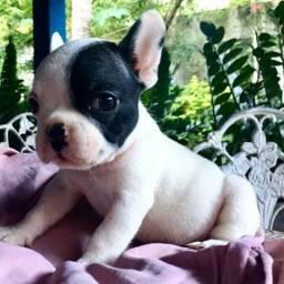 Bulldog Francês pirata macho porte pequeno