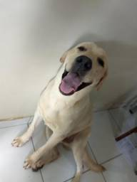 Labrador macho a procura de uma nomorada