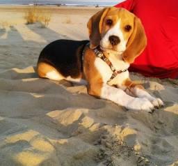 Vendo Beagle Macho Tricolor