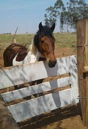 Vendo cavalo marchador por valor de R$ 6.000