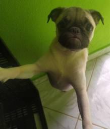 Filhote de Pug macho com 4 meses de idade