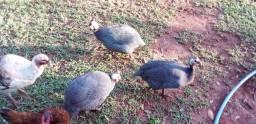 Título do anúncio: Galinhas de Angola