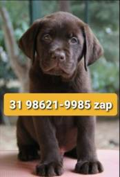 Título do anúncio: Labrador Os Melhores Filhotes