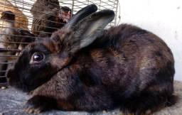 Vendo coelhas pretas