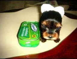 Título do anúncio: Belíssimas fêmeas micro de Yorkshire terrier !!!