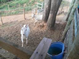 Título do anúncio: Cabras da raça sanner