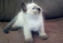 Título do anúncio: Seu cat perfeito !!!! Siameses Macho e fêmea 199 Aceito cartao
