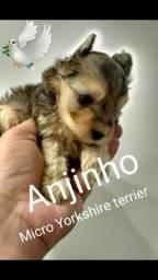 Título do anúncio: Minusculo macho Yorkshire terrier tamanho zero