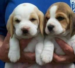 Título do anúncio: Lindos Filhotes Beagle Recibo Garantia Pedigree