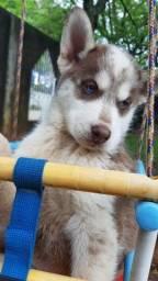 Título do anúncio: Vendo Husky Siberiano Alto Padrao em ate 12x