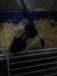 Filhote de hamster