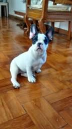 Bulldog Francês (Urgente)